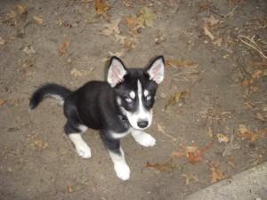 Khan puppy